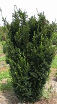 hicks yew shrubs pinterest