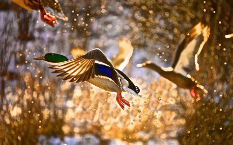 duck backgrounds mallard duck wallpapers wallpaper cave