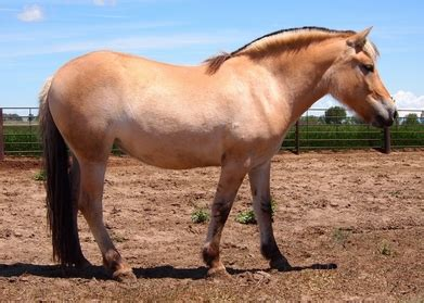 fjord accent accent ranch katarena norwegian fjord filly for sale