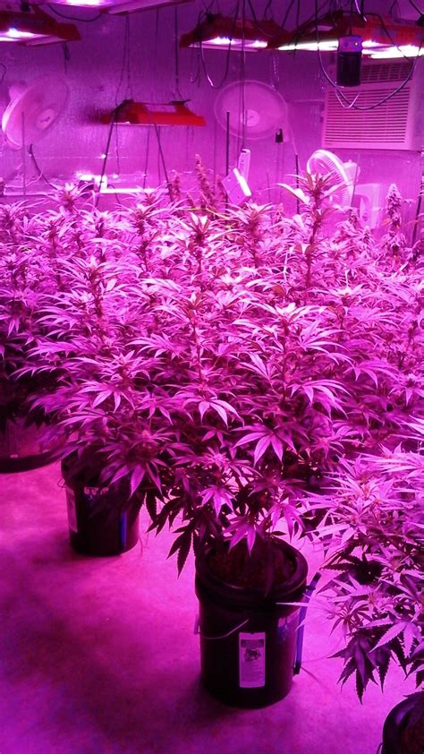 flowering cannabis with led lights gallery solar storm 880 led grow lights california
