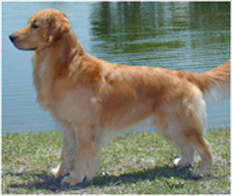 golden retriever weight range golden retriever breed facts and traits hill s pet