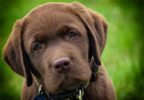 chocolate lab puppies for sale in nj light brown labrador puppy dogs in our photo
