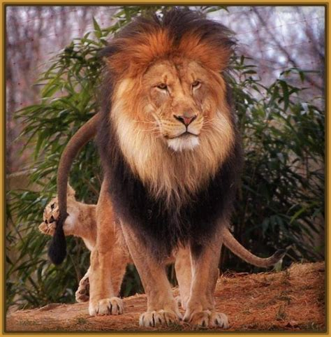 imagenes de leones feroces im 225 genes de leones para colorear archivos imagenes de leones