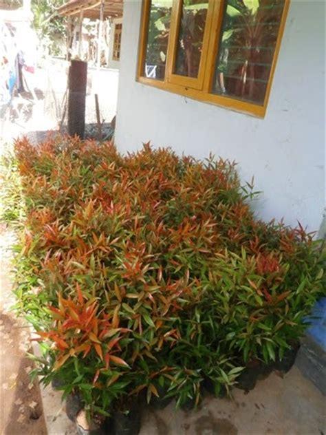 Jual Bibit Bunga Pucuk Merah tanaman perindang si pucuk merah bibit buah buahan dan kayu unggul purworejo