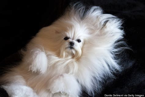 dogs with hair dogs with human hair images