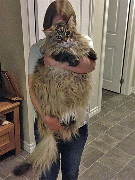 Giant Maine Coon Pictures