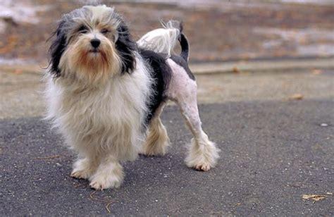 perro para piso peque o caracter 237 sticas y curiosidades del peque 241 o perro le 243 n