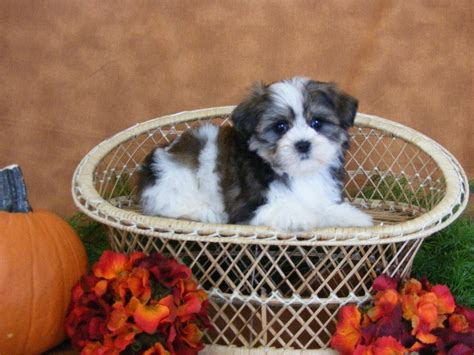 half yorkie half shih tzu 17 best images about kugel on puppys toys and maltese shih tzu