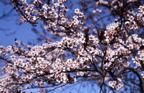 newport flowering plum garden pinterest