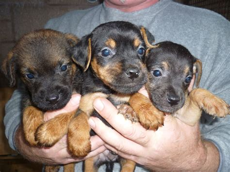 patterdale puppies patterdale terrier breed information breeds picture