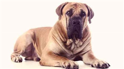 what is the largest breed of what are the largest breeds petcarerx