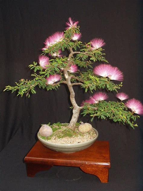 albizia julibrissin mimosa bonsai pink tree  seeds rare