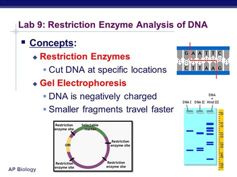 restriction pattern analysis genes ap biology lab review ppt video online download