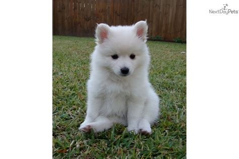 american eskimo puppy for sale american eskimo breed pictures breeds picture