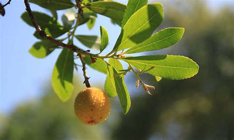 banche rho arbousier ou arbre 224 fraises balade randonn 233 e pr 232 s de
