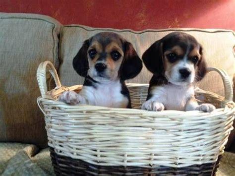 beagle puppies oregon 25 best ideas about beagle mix on beagle mix
