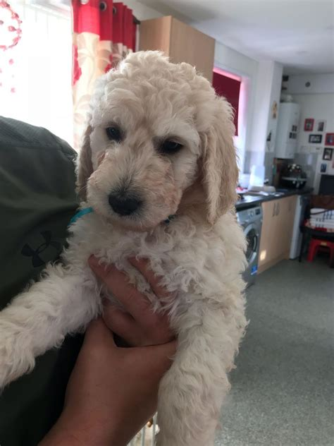 goldendoodle puppy advice goldendoodle puppies only 1 boy left newport newport