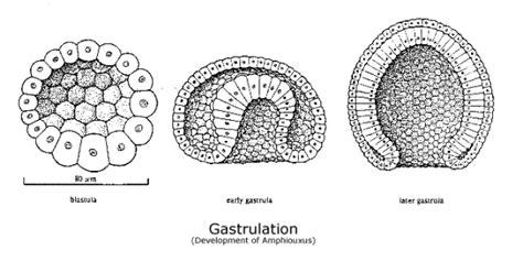 blastula diagram expository writing nd begins at gastrulation