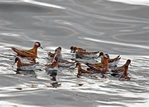 pelagic birding pacific nw birder