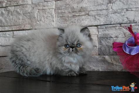 gattini persiani in vendita persiano gatto in vendita annunci cuccioli persiano gatto