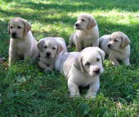 Lab Puppies Usa Puppy Pictures