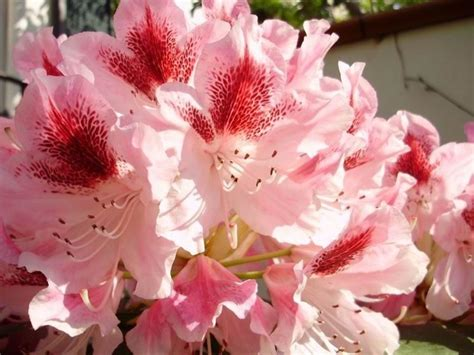 fiori di rododendro rododendro malattie piante da giardino pianta