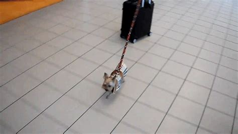 yorkie carry bag three pound yorkie and his thirty pound carry on make for an team huffpost