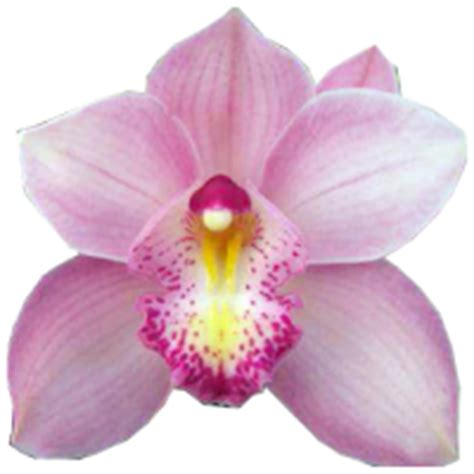 cymbidium non fiorisce orchidea cymbidium mignoloverde it
