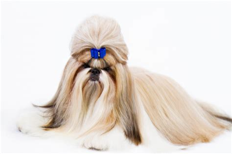 top knot shih tzu the glamorous shih tzu coat from top knot to american kennel club