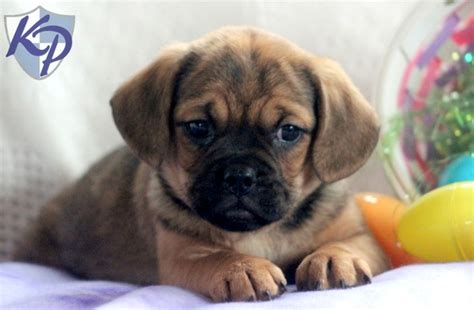 puggle puppies for sale in pa 17 best images about puggle puppies on puggle puppies puppys and chs