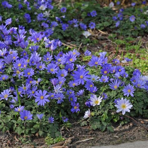 anemone blanda planting anemone blanda blue shades