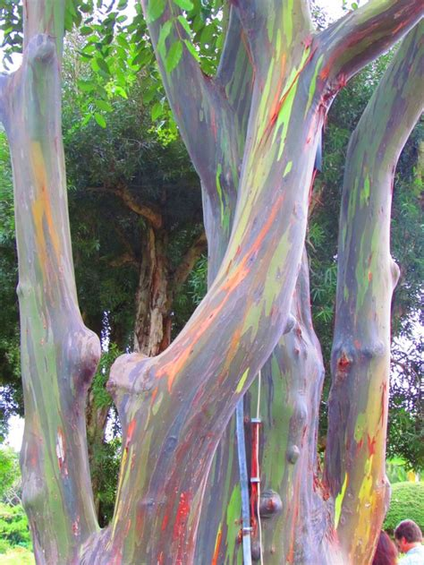 rainbow eucalyptus the 1428 best images about flowers on pinterest orchid