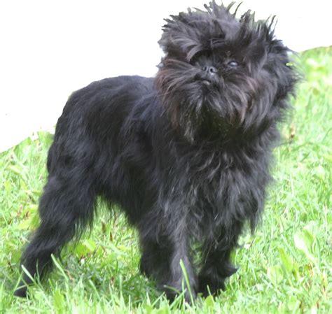 black spikey fur dog affenpinscher dogs breeds tipo pinscher y schnauzer pets