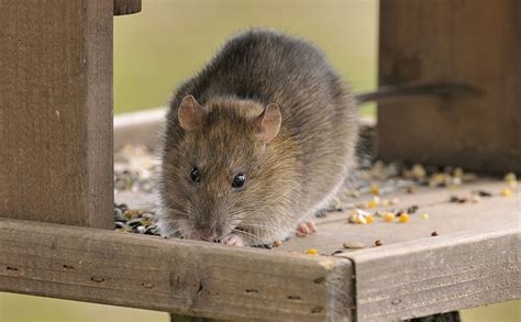 how to get rid of mice and rats in the home and garden