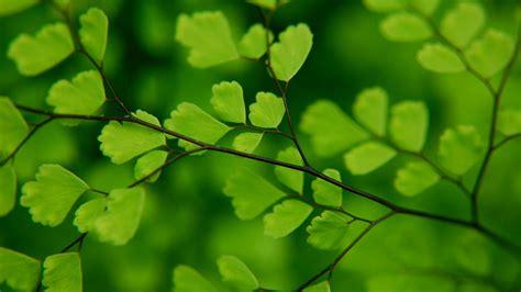 wallpaper of green leaves leaf hd wallpaper