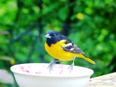 baltimore oriole birding for life