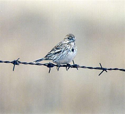 photographs of lark buntings