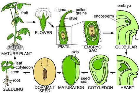 bean plant diagram lifecycles