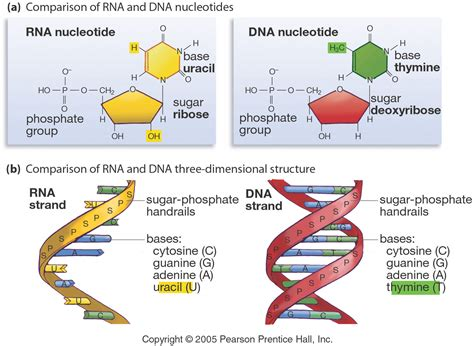 protein synthesis rna and protein synthesis pptx on emaze