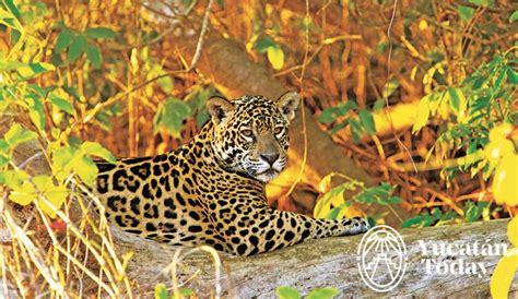 el jaguar jaguar s blog descubre el poder 237 o del jaguar yucatan today