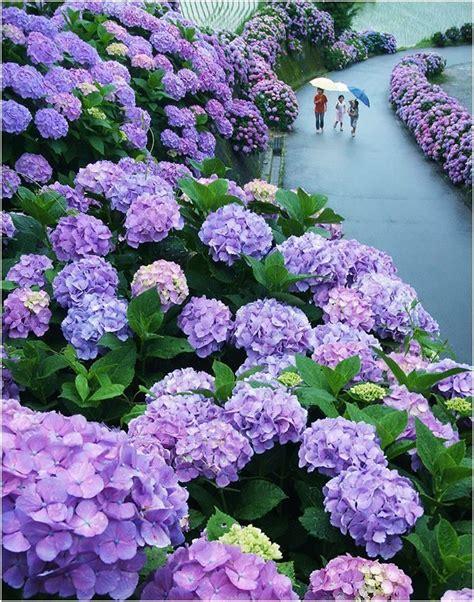 Hortensia Purple hydrangea road in miyazaki japan up and smell