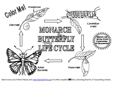 coloring picture of butterfly life cycle coloring page monarch butterfly life cycle coloring page monarch