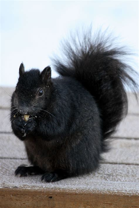 Black Squirrel Meet The Black Squirrel The Ark In Space