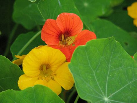 all flower food 6 edible flowers for food and medicine gardens all