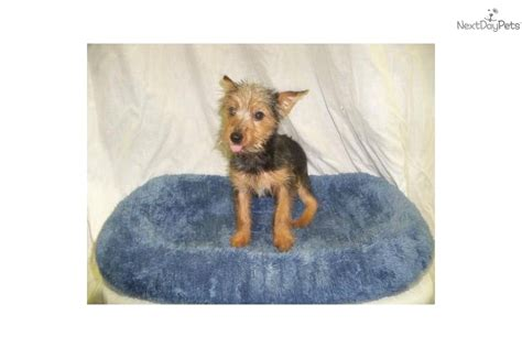 fox terrier yorkie mix meet a terrier yorkie puppy for sale for 310 fox terrier