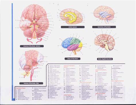 anatomy coloring book brain i 4 atanatomy weebly