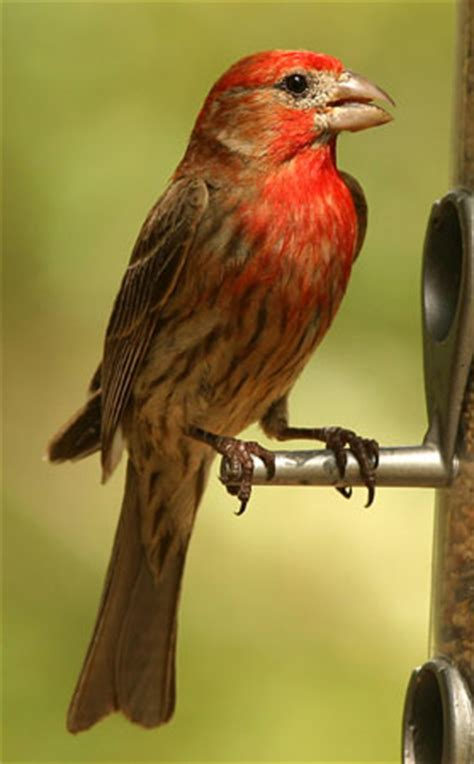 house finch food house finch aspen song wild bird food