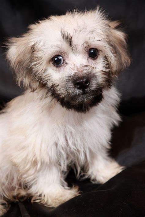 havanese coton de tulear mix 17 best images about rescue pups dogs on australian shepherd mix poodles
