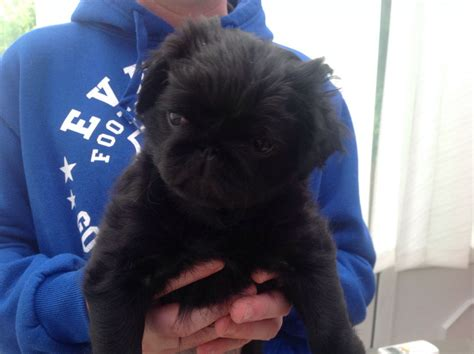 haired pug haired black pug birmingham west midlands pets4homes