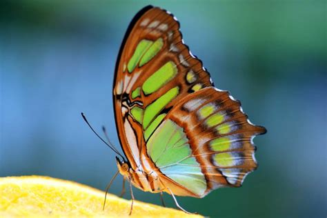 picture insect nature butterfly plant macro